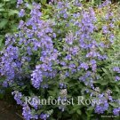 Nepeta xfaassenii Walker's Low 72 plants USA grown 2007 WINNER Zone 3-9