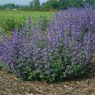 Nepeta xfaassenii Junior Walker Catmint 72 plants mini Walker's Low Zone 4-9