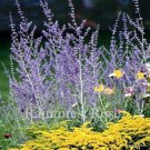 Perovskia atriplicifolia 72 perennial plants USA grown 1995 WINNER Zone 4-9