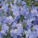 Phlox Blue Moon 72 perennial plants USA grown Woodland Phlox Zone 4-9 FLOWERS