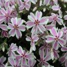 Phlox subulata Candy Stripe 72 perennial plants USA grown Moss Phlox Zone 2-9