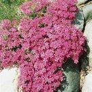 Phlox subulata Crimson Beauty 72 perennial plants USA grown Moss Phlox Zone 2-9
