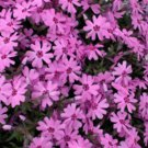 Phlox subulata Fort Hill 72 plants Moss Phlox creeper USA grown Zone 2-9