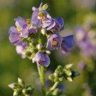 Polemonium boreale Heavenly Habit 72 plants USA grown Zone 3-7