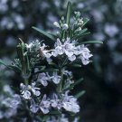 Rosemary officinalis Arp 72 plants fragrant bulk perennials Rosmarinus  Zone 6-9