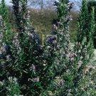 Rosemary Tuscan Blue 72 plants perennials Rosmarinus Large Flowers Zone 7-9