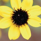 Rudbeckia triloba 72 lot plants Black-Eyed Susan wholesale Zone 3-10 FLOWERS