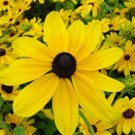 Rudbeckia hirta Indian Summer 72 plants Black-Eyed Susan Zone 3-10 FLOWERS