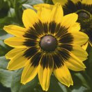 Rudbeckia hirta Denver Daisy 72 plants Black-Eyed Susan Zone 3-10 FLOWERS
