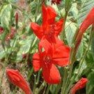 Ruellia Ragin Cajun (72) lot plants wholesale bulk  Zone 7b-11 FLOWERS