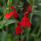 Salvia greggii Radio Red (72) plants Meadow Sage Zone 7-9 PRODUCT USA