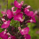 Salvia Heatwave Sparkle (72) plants Meadow Sage Zone 6-10 wholesale lot