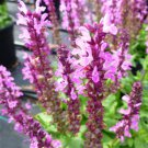 Salvia nemorosa Lyrical Rose (72) plants Meadow Sage Zone 4-9 USA grown