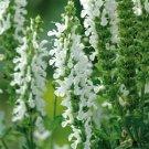 Salvia nemorosa Lyrical White (72) plants Meadow Sage Zone 4-9 USA grown