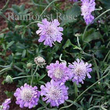 Scabiosa Butterfly Blue 72 plants 2000 WINNER Product USA Pincushion Zone3-8