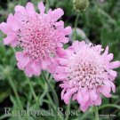 Scabiosa columbaria Pink Mist 72 plants Product USA Pincushion Flower Zone 3-8