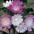 Stokesia l Colorwheel (50) perennial plants Product USA Stokes Aster Zone 5-9