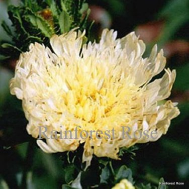 Stokesia l Mary Gregory (50) perennial plants Product USA lot Zone 5-9 FLOWERS