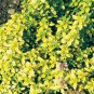 Thymus Golden 72 plants USA Creeping Thyme Zone 5-10 lavender flowers