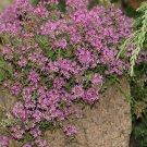 Thymus praecox Coccineus 72 perennial plants USA Creeping Thyme Zone 3-8