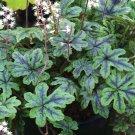 Tiarella American Trail Happy Trails 72 plants USA Foam Flower Zone 4-9