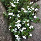 Veronica Whitewater 72 Speedwell white flowering plants wholesale Zone 4-7