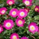 72 Delosperma Jewel of Desert Amethyst Product USA ICE PLANTS Zone 5-10
