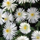 72 Delosperma Moonstone WHITE wholesale bulk succulents Ice Plants Zone 5-10