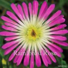 72 Delosperma Rosequartz PINK WHITE Ice plants wholesale  succulents Zone 5-10