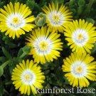 72 Delosperma YELLOW WHITE Peridott USA grown bulk Ice Plants Zone 5-10