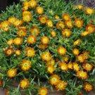 72 Delosperma Wheels of Wonder Orange Wonder Ice Plants Zone 5-10