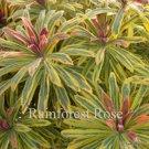 Euphorbia Ascot Rainbow 72 plants wholesale cactus succulents Zone 5-9