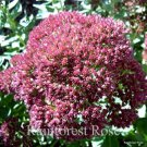 Sedum Brilliant 72 plants USA grown succulents Perennial Flowers Zone 3-9