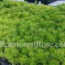 Sedum lemon ball (72) plants cactus succulents stonecrop USA grown Zone 3-10