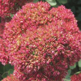 Sedum Autumn Joy 72 plants Product USA cactus succulents Zone 3-9
