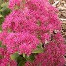 Sedum sieboldii Neon (72) succulents cactus hardy Stonecrop Zone 3-9