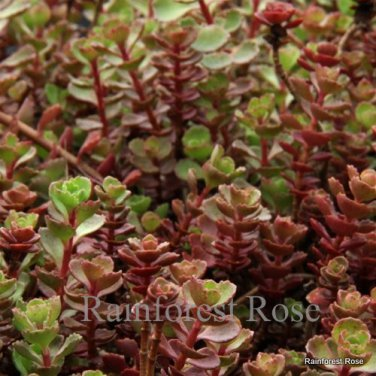 Sedum spurium Red Carpet (72) plants cactus succulents stonecrop Zone 3-9