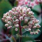 Sedum Vera Jameson 72 plants cactus succulents stonecrop tray Zone 4-9