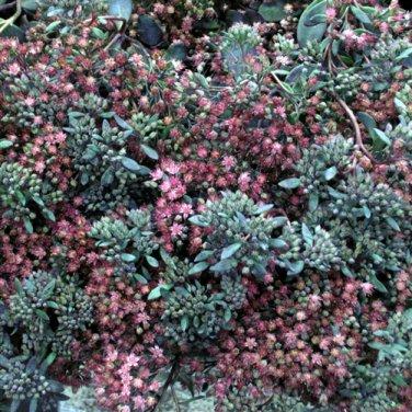 Sedum Sunsparkler Dazzleberry (72) succulents cactus hardy Stonecrop Zone 4-9