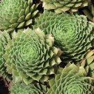 50 Sempervivum Silverine plants Hens and Chicks cactus succulents Zone 3-9