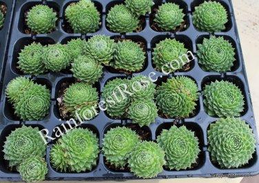 50 Sempervivum Green Wheel plants USA grown succulents hens chicks Zone 3-9