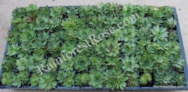 72 plugs Sempervivum plants Hardy Mix variety Cactus Succulents cuttings