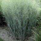 Panicum virgatum Heavy Metal 38 plants Switch Grasses wholesale Zone 4-10