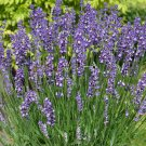 Lavender Lavandula Big Time Blue 72 plants fragrant USA grown perennials Zone 5-10