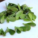 Crassula ovata (Jade Plant) small cutting succulent plant