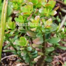 Crassula ovata Minor (Baby Jade) small cutting succulent plant