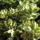 Crassula ovata variegata (Variegated Jade) small cutting succulent plant