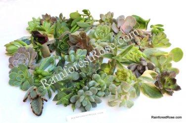 Crassula Small Red Carpet (Radicans) small cutting succulent plant