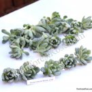 Echeveria Grey Red small cutting succulent plant