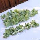Echeveria Prolifica small cutting succulent plant
